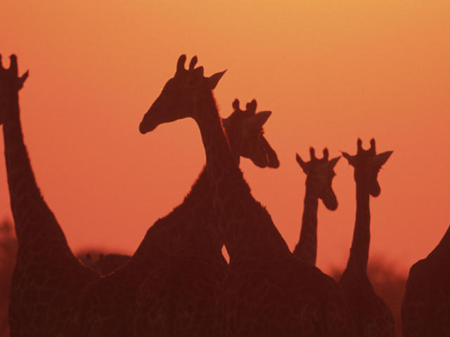 Giraffe herd at sunset
