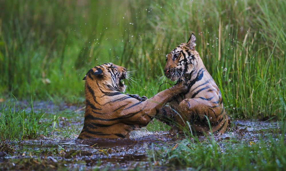 Bengal tiger cubs playing in India