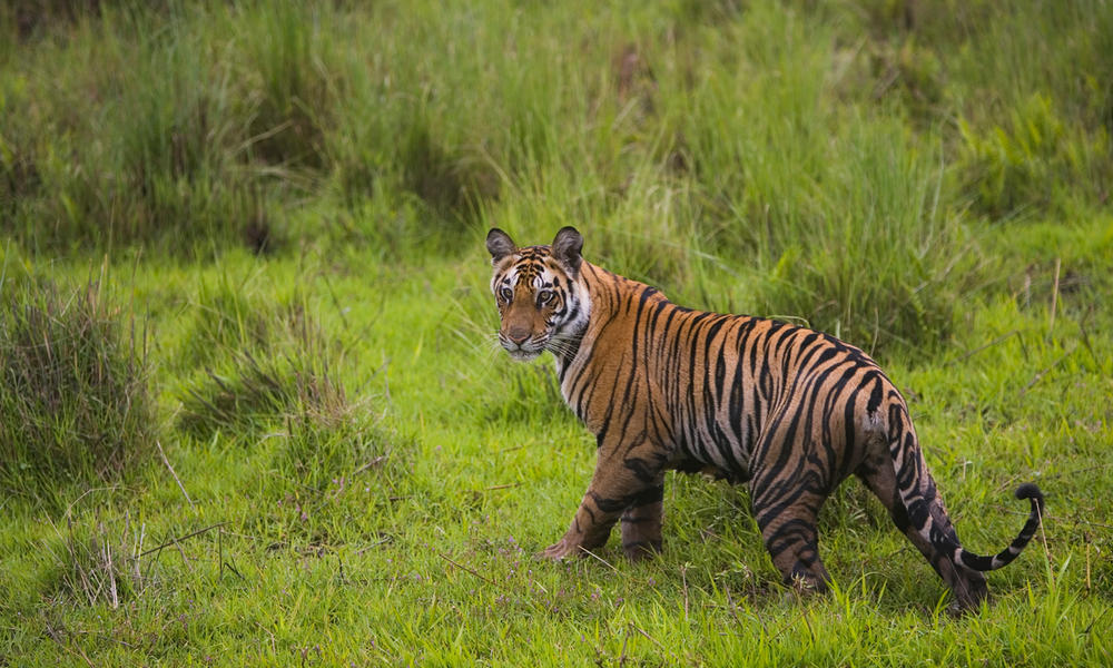 Bengal cub walking in a meadow in India