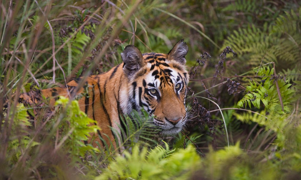 Bengal tiger cub in a green meadow with ferns
