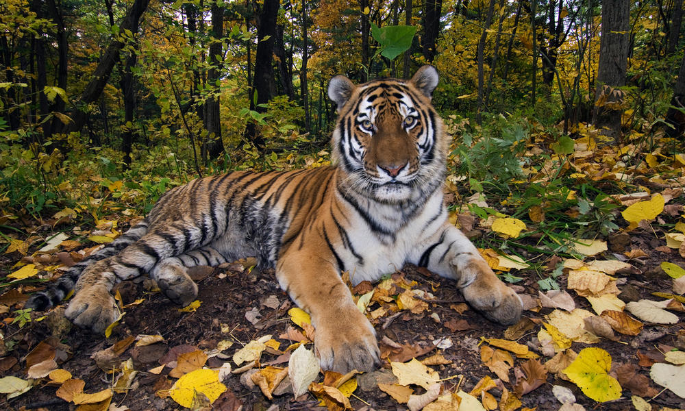 Male Amur tiger in the forest
