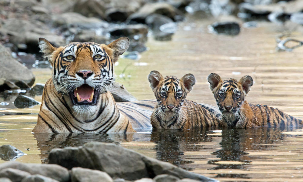 Bengal tiger with cubs in the water in India