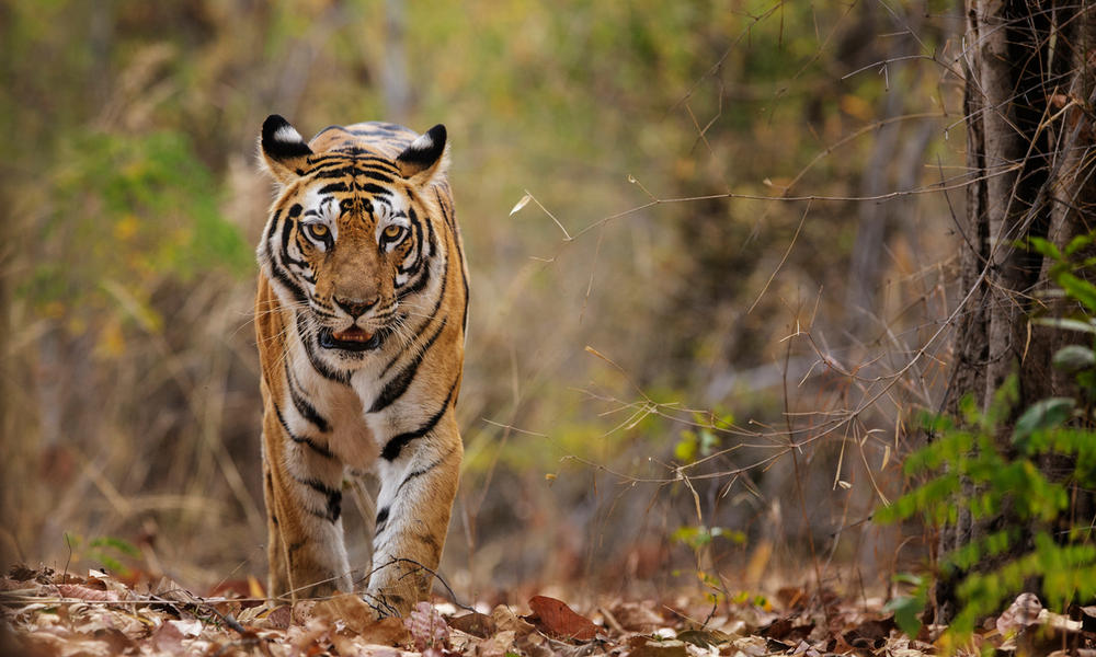 Bengal tiger walking in India
