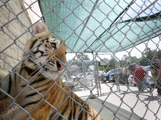 A tiger in a cage in the U.S.