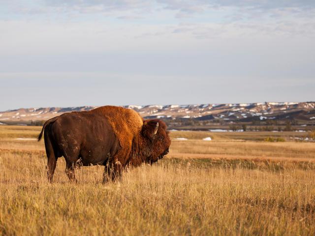 Buffalo at the Badlands National Park