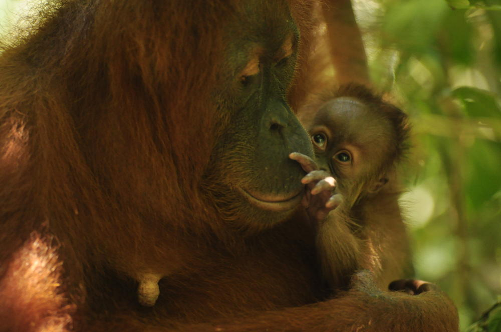 Baby orangutan examines her mothers face