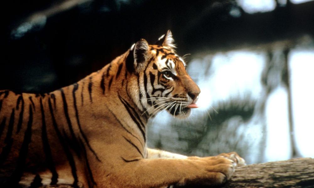 tigres-salvajes