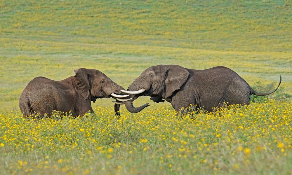 Elephants linking trunks in a field