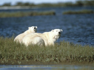 Polar bear and cub sitting by a river in Churchill, Canada