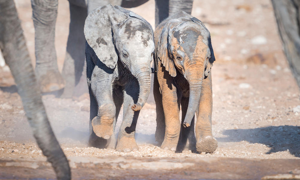 African elephant calves at watering hole