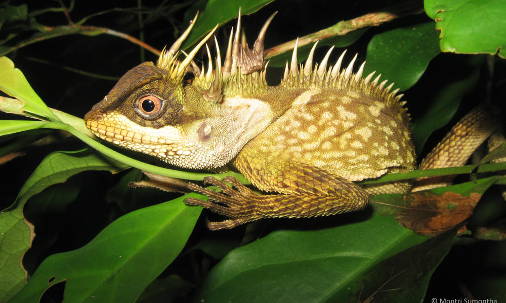A Phuket Horned Tree Agamid
