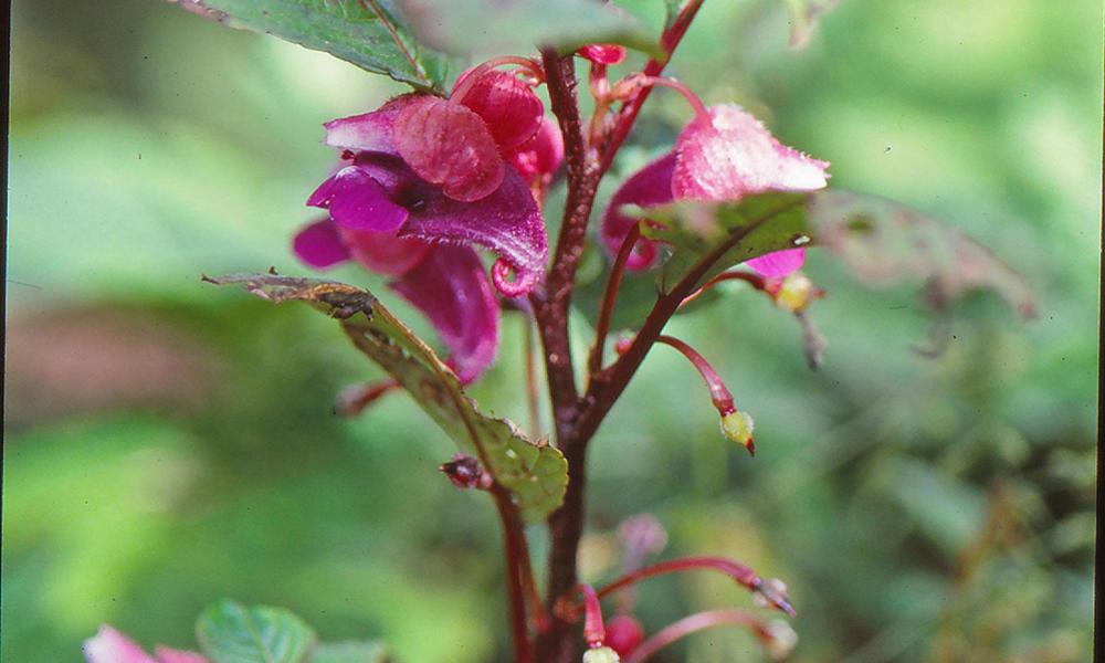 A mouse-eared impatiens