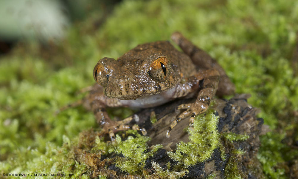 A tiny new species of frog