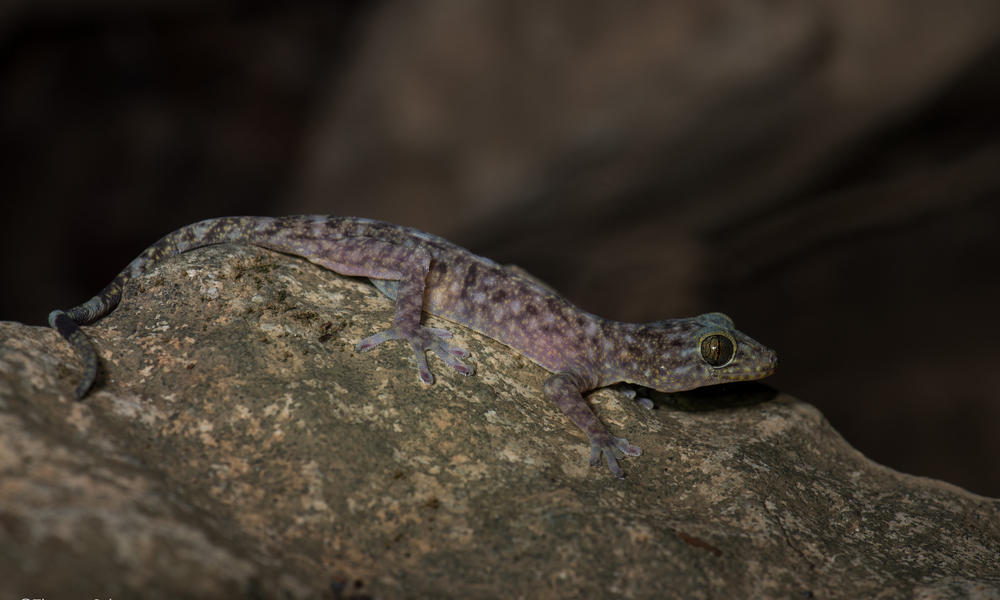 A cave-dwelling gecko