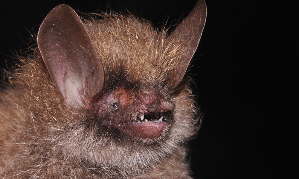 A woolly bat