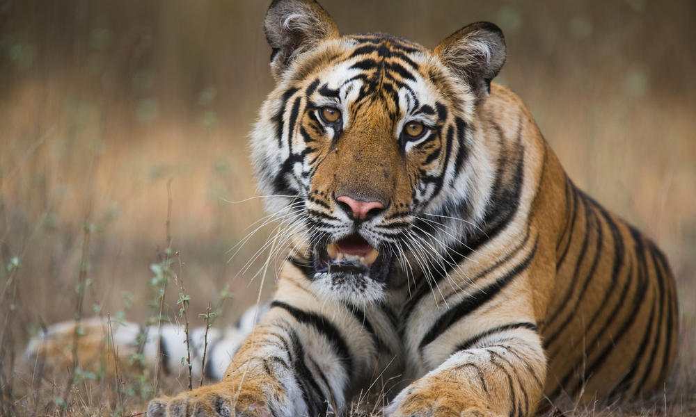 A Bengal tiger in Bandhavgarh National Park, India