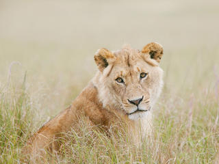 A female African lion in the grass.
