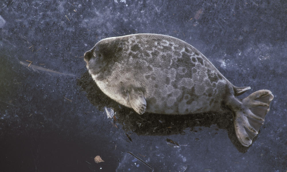Saimaa ringed seal %c2%a9 juha taskinen wwf finland  one time use %281%29