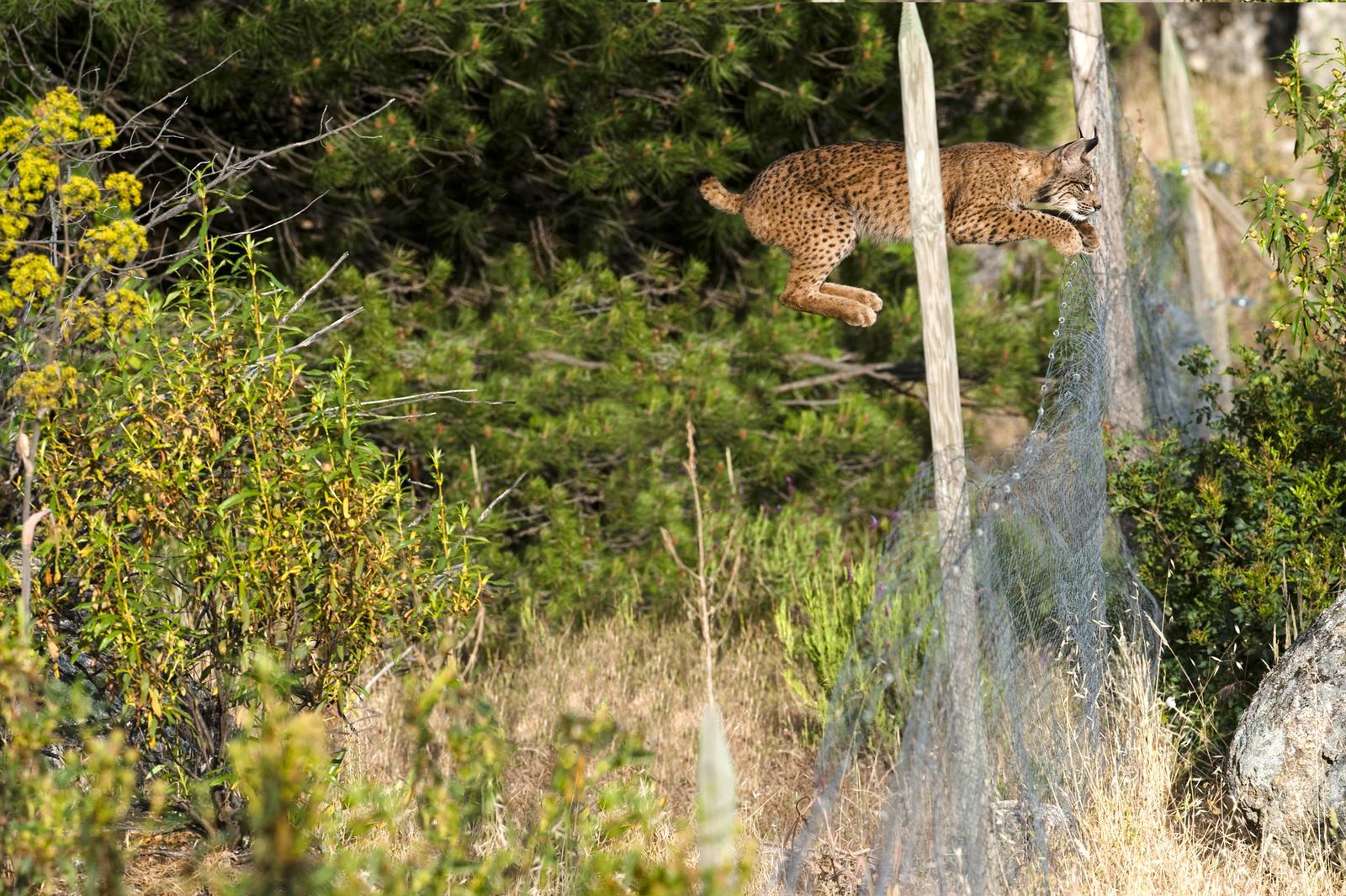 Iberian lynx spring2017