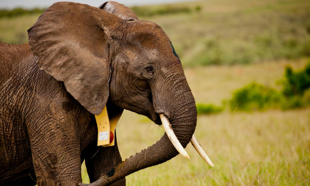 A collared elephant
