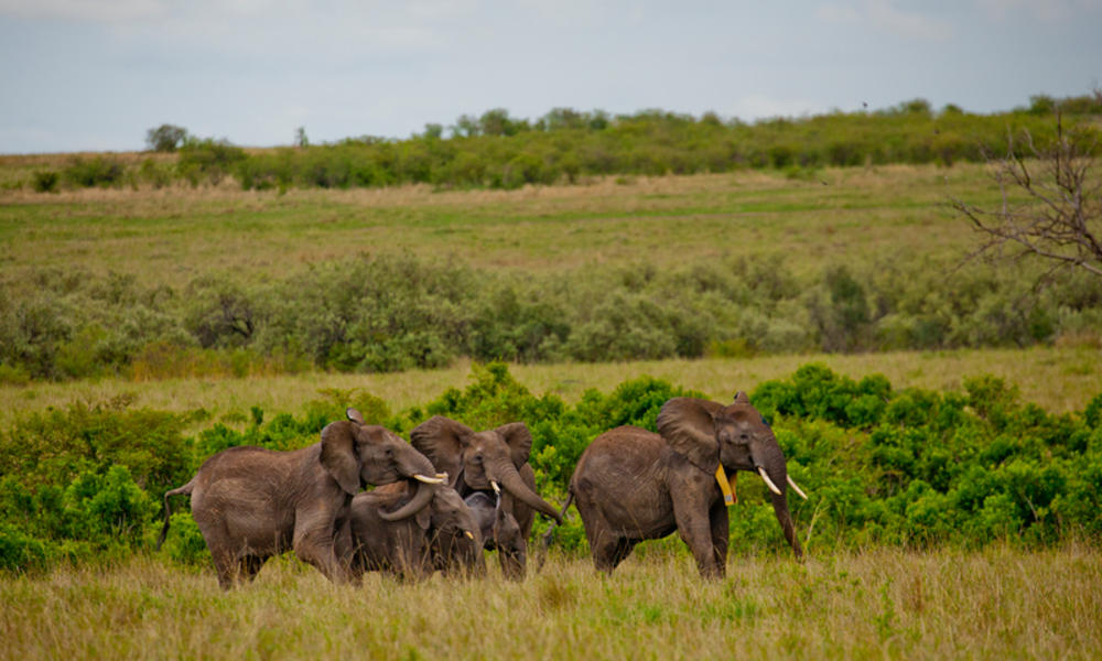 An elephant herd