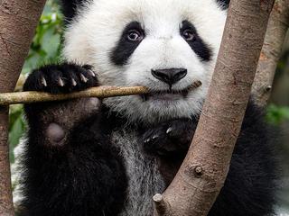 Panda Calendar Wallpaper