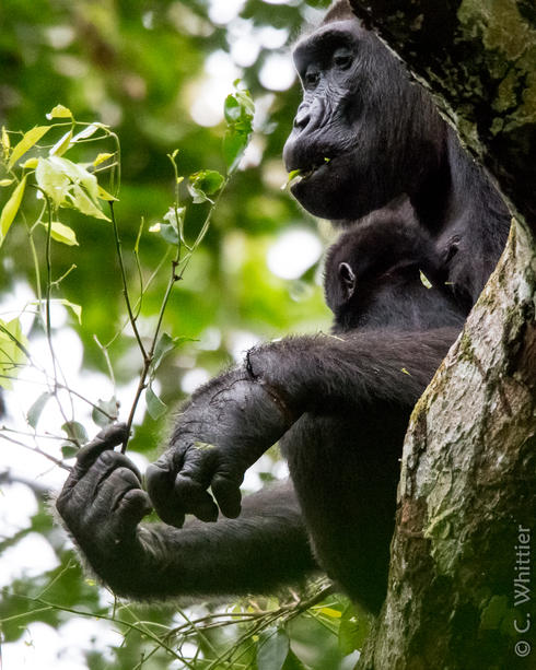 Gorilla Wusa with baby