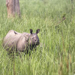 Female rhino in Chitwan National Park, Nepal