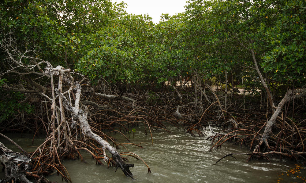 Mangroves in Belize.