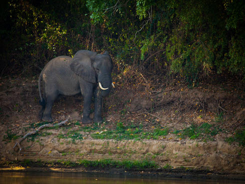 Elephant by the Rufiji River in Selous.
