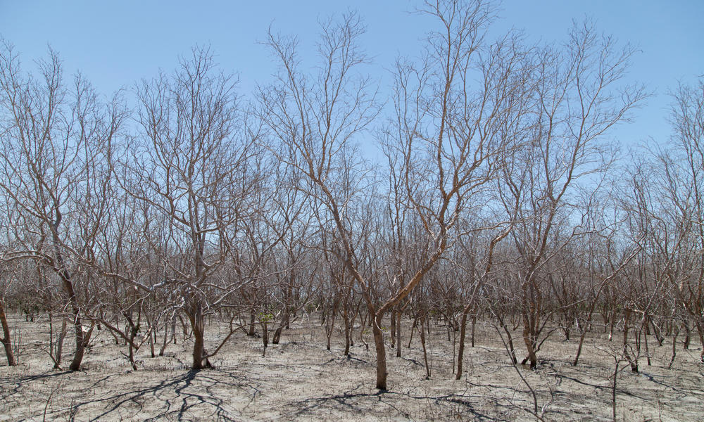 Dead mangroves in Australia