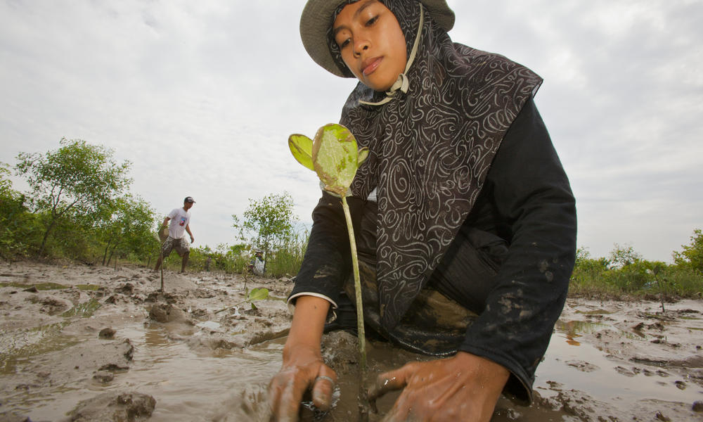 Planting mangrove seedlings in Sumatra.
