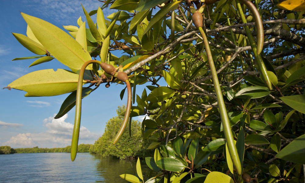 Mangrove propagules sprouting while still on the tree.