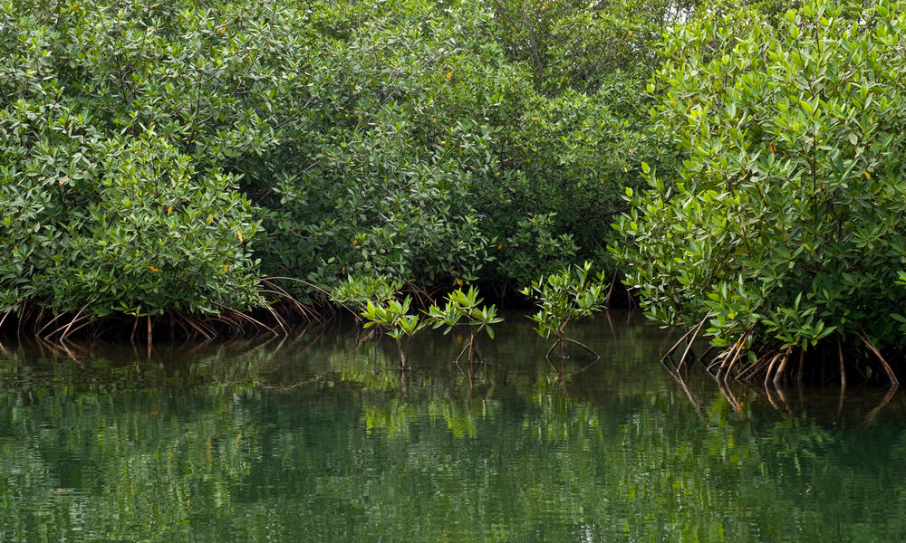 Mangroves in Placencia, Belize.