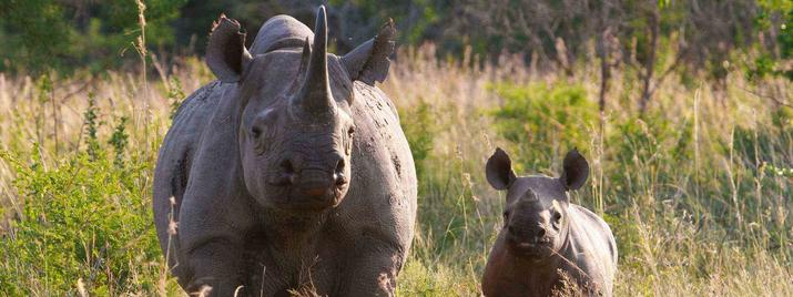 Black rhino and calf in Africa