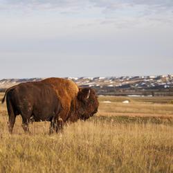 2017 03 03 bison copy