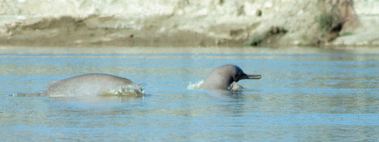 indus river dolphin species wwf