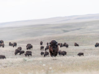 Bison facing front with herd behind