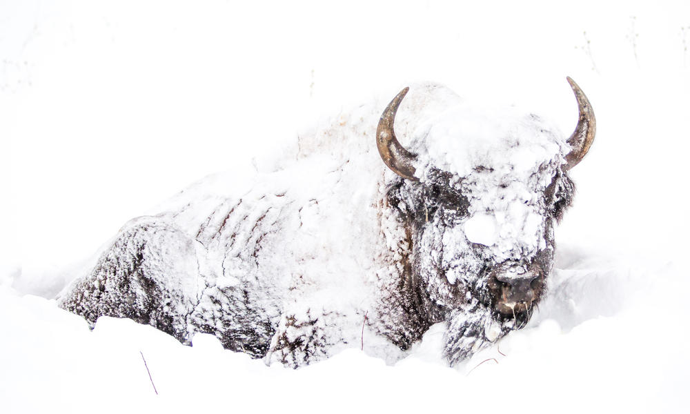 A bison covered in snow in Yellowstone National Park