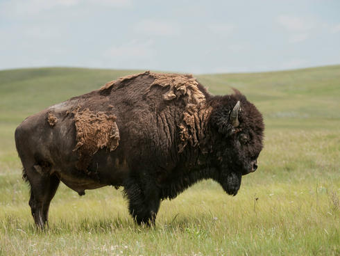 A bison in Fort Peck