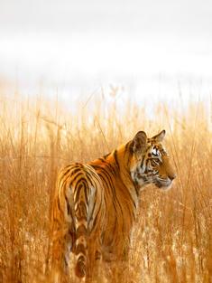 tiger in a tall grassland