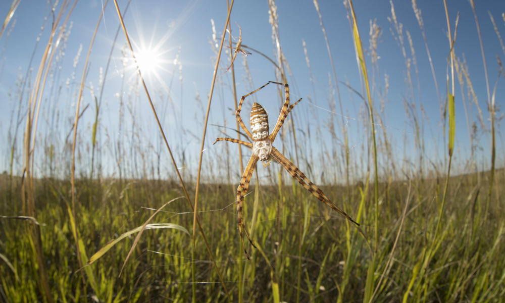 NGP Silver Argiope Spider