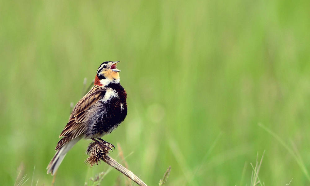 NGP Chestnut-collared Longspur