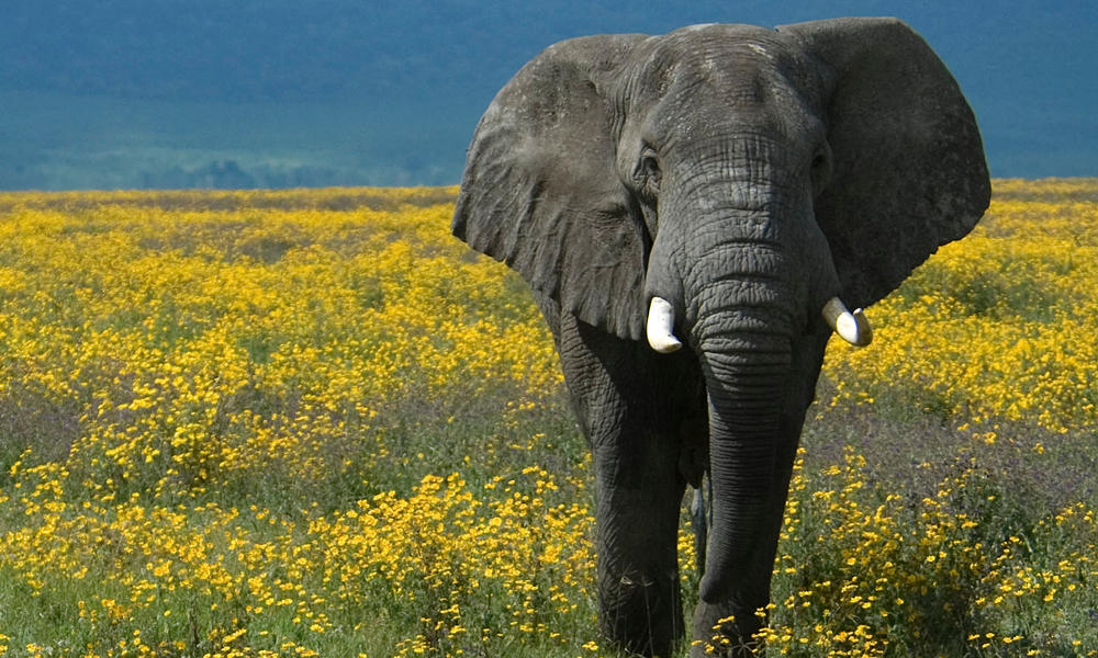 two African elephants in a field