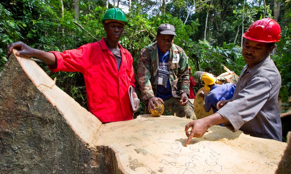 men assess tree stump in cameroon