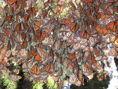 Monarchs on tree
