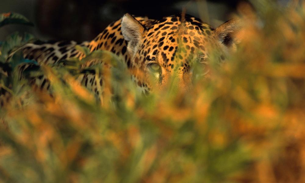 Jaguar hiding in brush