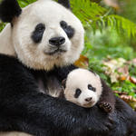 Giant panda mother and cub