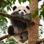 Panda cub climbing tree