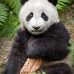 Panda with bark